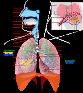 Le système respiratoire, poumons, voies aériennes supérieures pour preuve scientifique de la sophrologie